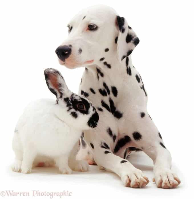Dalmatian and rabbit