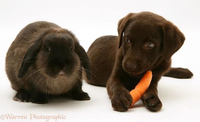 black labrador and rabbit
