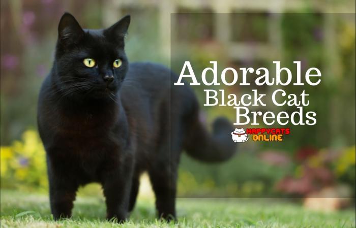 Adorable Cat Breeds Color Black