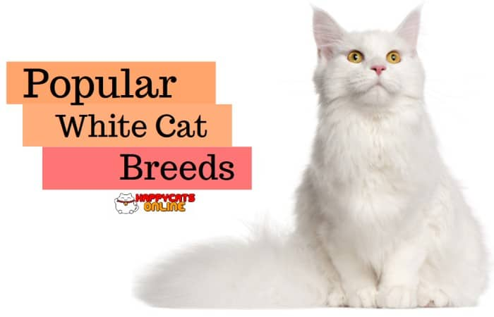White Cat Breeds You Will Fall Inlove With These Adorable List Of Soft Fur Pets Happy Cats Online