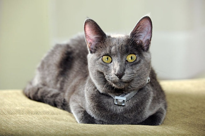 best names for gray cat breeds