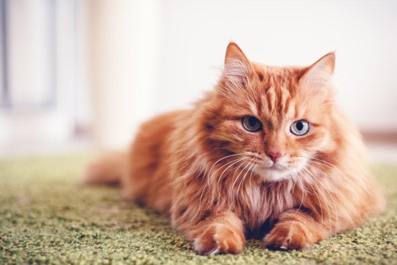 names for orange cat breed