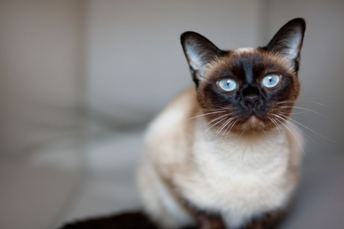 list of names for Siamese cat