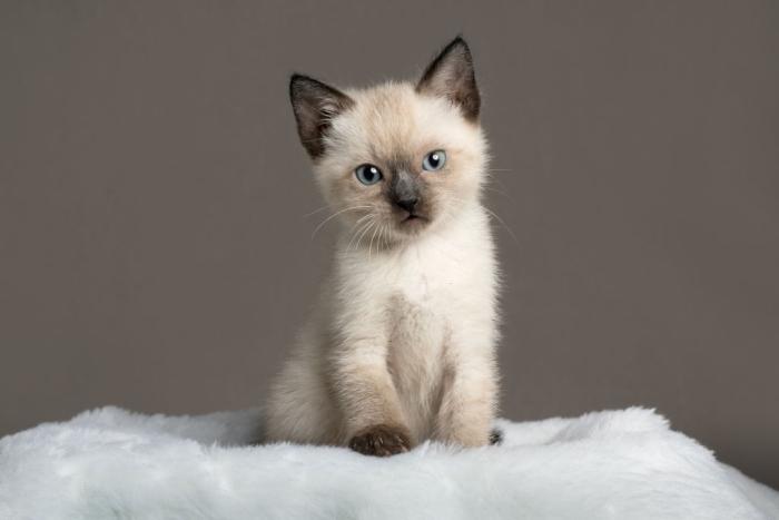 Siamese kitten names
