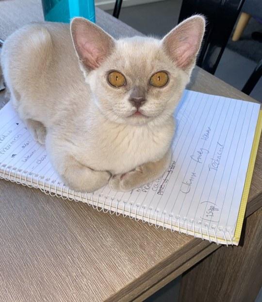 burmese cat kitten