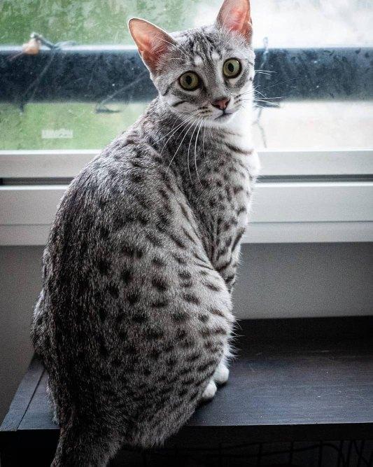 Egyptian Mau in the window
