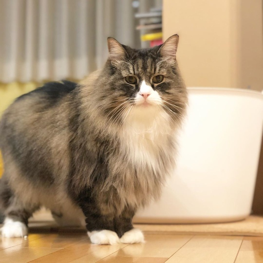 largest domestic cat breed Norwegian Forest Cat